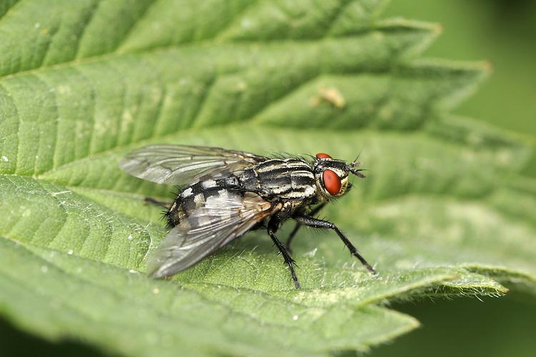 flesh fly<br /> Sarcophaga carnaria