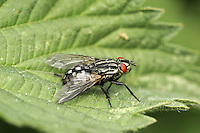 flesh fly<br /> Sarcophaga carnaria