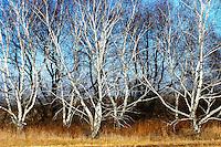 Aspen trees assembled like ballerinas on an autumn afternoon at the Morton Arboretum in Lisle, Illinois