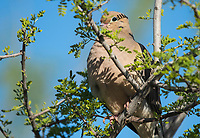 A Mourning Dove, Zenaida macroura, perches in a Mesquite tree in the Riparian Preserve at Water Ranch, Gilbert, Arizona
