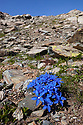Spring Gentian {Gentiana verna subsp. verna} floweing on mountainside. Aosta Valley, Monte Rosa Massif, Pennine Alps, Italy. July.