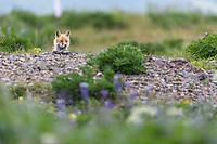 Red fox in wildflowers on Amaknak Island, Dutch Harbor, Aleutian Islands, Alaska.