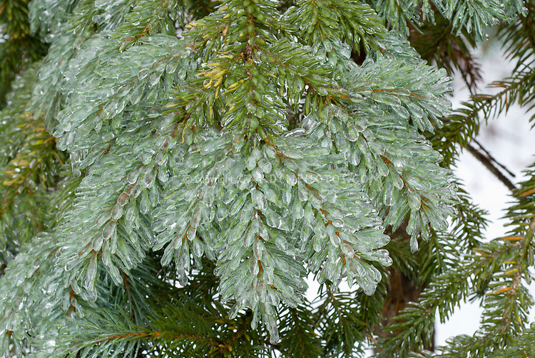 Picea pungens Glauca Group, ice on needles