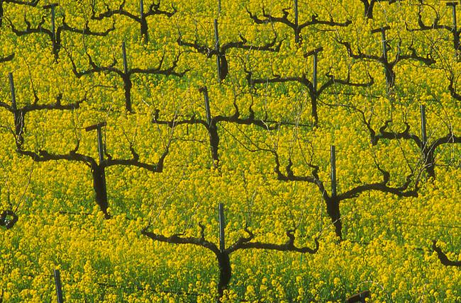 Spring mustard in vineyard along Deer Park Crossroad, north of St. Helena