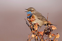 Bluethroat - Luscinia svecica - Male. L 13-14cm. Robin-sized bird that feeds on ground. Unobtrusive but obvious when seen well. Red sides to base of tail are diagnostic. Sexes are dissimilar. Adult male has mainly grey-brown upperparts and whitish underparts, with white supercilium and iridescent blue throat and breast, bordered below by bands of black, white and red; typically, blue 'throat' has white or red central spot depending on race. Blue colour masked by pale feather fringes in autumn. In other plumages Blue on throat is obscured by pale feather margins, or replaced by cream or white, depending on individual's sex and age. Voice Utters a sharp tchick call. Status Scarce passage migrant.