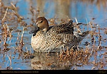 Northern Pintail Female, Bosque del Apache Wildlife Refuge New Mexico