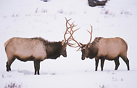 Elk, Wapiti (Cervus elaphus), bulls fighting, Yellowstone National Park, Wyoming, USA