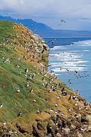 Atlantic puffin, or common puffin, clifftop, breeding, nesting colony, Fratercula arctica, Iceland, Atlantic Ocean