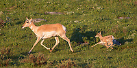 This pronghorn had twins.  I only had time to photograph these two as they pranced behind a nearby hillock.