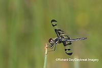 06580-00210 Banded Pennant (Celithemis fasciata) male Washinton Co. MO