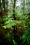 HI:  Hawaii Volcanoes National Park, Big Island, Tropical Rain Forest, ferns   .Photo Copyright:  Lee Foster, lee@fostertravel.com, www.fostertravel.com, (510) 549-2202.Image: hivolc204