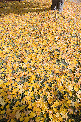 Maple leaves cover the ground in autumn