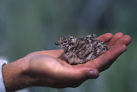 A one day old sage grouse chick is radio collared and tracked/studied by researcher Nathan Burkpile. At Burkepile's site, hopes focus on hatchlings, who usually don't live past three weeks.....At one time there were an estimated two million birds, but now their numbers are down to around 200,000...Momentum is building to list the sage grouse under the federal Endangered Species Act, but many predict the effort will result in an environmental battle to match the spotted owl/logging debate. The most serious threats to sage grouse habitat are range fires, farming and livestock grazing.