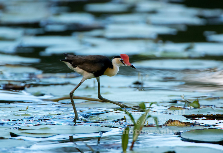 Comb-crested jacana (Irediparra gallinacea), also known as the lotusbird or lilytrotter, is the only species of jacana in the genus Irediparra. Like other jacana species, it is adapted to the floating vegetation of tropical freshwater wetlands.Cattana Wetlands, Smithfield - Far - North Queensland - Australia.