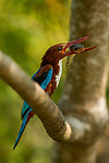 White-throated Kingfisher (Halcyon smyrnensis) with fish prey, Diyasaru Park, Colombo, Sri Lanka