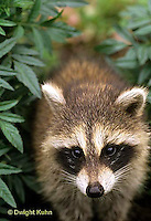 MA25-189z  Raccoon - young raccoon exploring - Procyon lotor