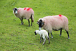 New born lamb and sheep, Lake District, Cumbria, England, UK