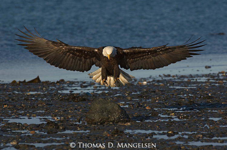 A bald eagle landing on the beach at Homer, Alaska.