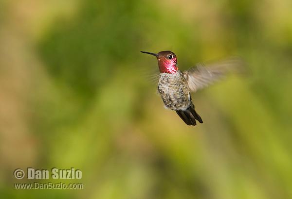 Male Anna's hummingbird, Calypte anna. Santa Cruz Mountains, California.