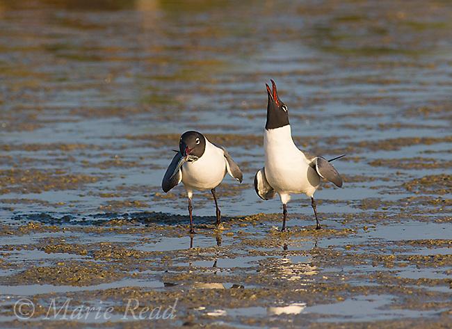 Laughing Gulls (Larus atricilla), courting pair, one at rear is begging for the fish its mate is carrying, Fort De Soto Park, Florida, USA