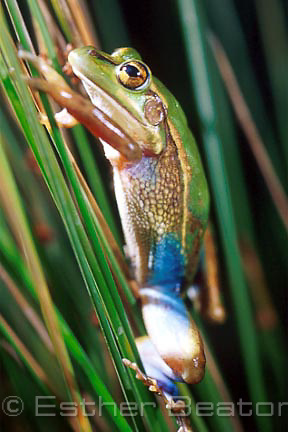 Green and Golden Bell Frog (Litorial aurea) on reeds at night. Sydney NSW. Threatened species