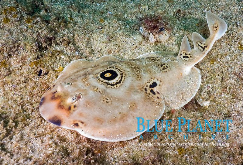 Bullseye electric ray, Diplobatis ommata, Sea of Cortez, Cabo pulmo, Baja, Mexico.