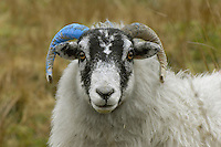 Horn marked Scottish Blackface ewe on the Isle of Man.
