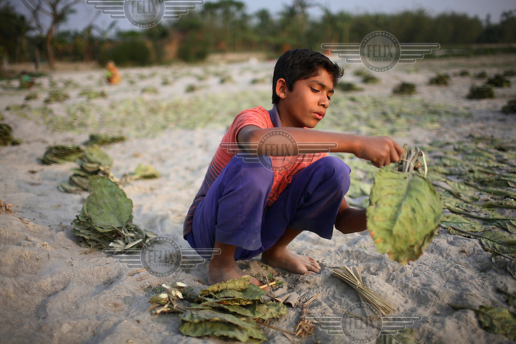 A boy ties bundles of dried tobacco leaves in the Dawabari river bed area. 'Chars' such as this - islands that are periodically submerged by the country's mighty rivers - are home to over five million people in Bangladesh. Life for the char dwellers is hazardous and uncertain. Flooding is common, as is loss of land and erosion, making it a struggle to grow enough food, and meaning families often need to relocate.
