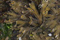 Sägetang, Säge-Tang, Fucus serratus, toothed wrack, serrated wrack, Saw Wrack