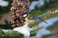Kohlmeise an der Vogelfütterung, Fütterung im Winter bei Schnee, an mit Fettfutter gefüllten Zapfen, selbstgemachtes Vogelfutter, Winterfütterung, Kohl-Meise, Meise, Parus major, great tit