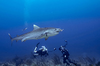 tiger shark, Galeocerdo cuvier, plastic packing band encircling body and cutting into flesh (band probably from bait box) Bahamas, Caribbean (W. Atlantic) (do)