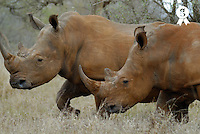 Two white rhinoceros (Ceratotherium simum) covered with dry mud, close-up (Licence this image exclusively with Getty: http://www.gettyimages.com/detail/73014034 )