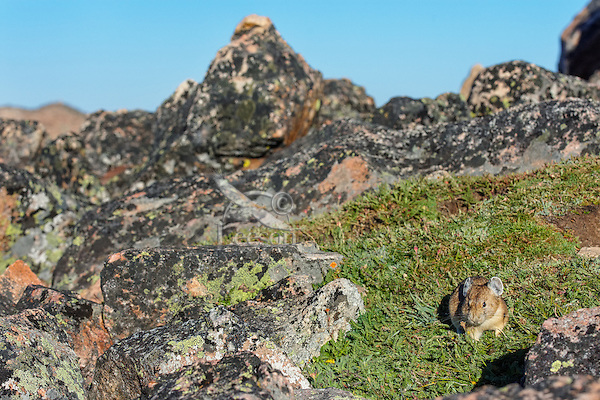 American pika (Ochotona princeps) looking for food along the edge of its boulder field home.  Beartooth Mountains, Wyoming/Montana.  Summer.  This photo was taken in alpine setting at around 11,000 feet (3350 meters) elevation.