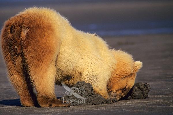Grizzly Bear digging for razor clams on an Alaskan Peninsula beach, Katmai National Park.  Summer.