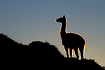 Guanaco (Lama guanicoe) at sunrise, Torres del Paine National Park, Patagonia, Chile