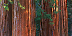 Dappled sunlight on sequoia trees (Sequoiadendron giganteum) in the Lost Grove near Gererals Highway