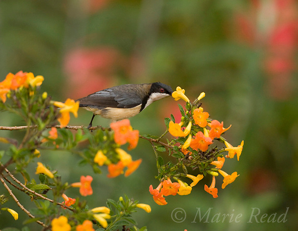 Eastern Spinebill (Acanthorhynchus tenuirostris) feeding on nectar from orange flowers, Atherton Tableland, Queensland, Australia