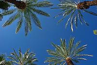 Palm Tree, California palm tree s, CA, Fan Palm, native, Arecaceae, Palmae, Palmaceae