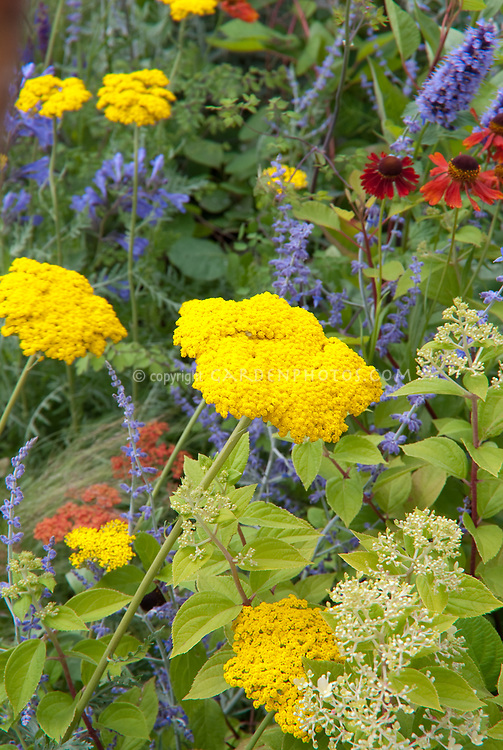 Achillea (yellow) With Nepeta U0026 Agapanthus U0026 Red Helenium For Blue And  Yellow Flower