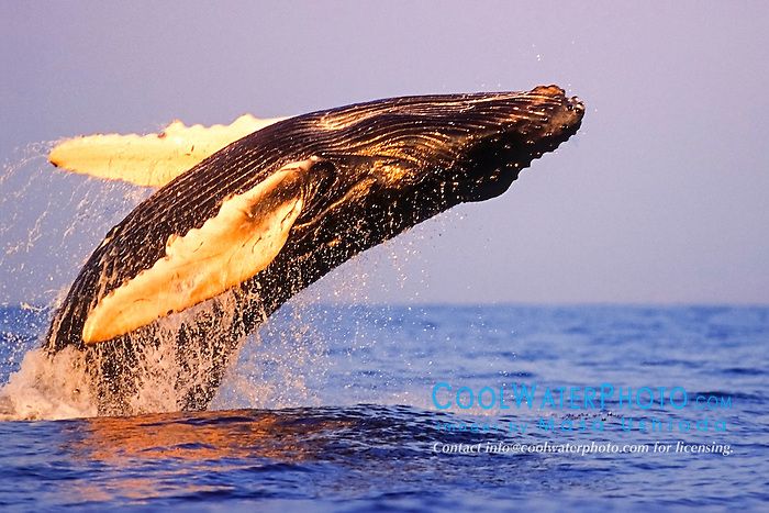 humpback whale, Megaptera novaeangliae, calf breaching with open eye, under golden hour light, Hawaii, USA, Pacific Ocean