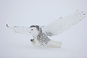 Snowy owl landing in snow to catch mouse, Canada