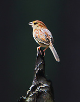 Bachmann's sparrow singing