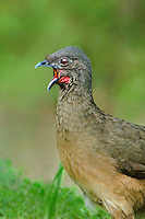 511760042 a wild plain chachalaca ortalis vetula calls to a mate in the rio grande valley of south texas