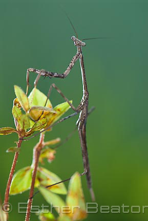 Stick Mantis (Archimantis latistyla), male, in backyard garden, Central Coast, southeastern Australia