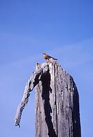 Bird on Standing Dead Tree, Mt. St. Helens National Volcanic Monument, Washington, US