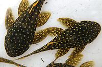 Pesca predatÛria de peixes ornamentais. EspÈcime Baryancistrus SP, conhecido como amarelinho.Altamira, Par·, Brasil.15/02/2006.Fotos Paulo Santos/Interfoto