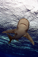 The thirty knot winds whipping the surface had little effect on this oceanic whitetip shark [Carcharhinus longimanus]. Hawaii.