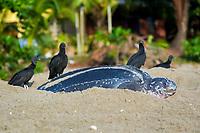 leatherback sea turtle, Dermochelys coriacea, female, nesting and laying eggs, while black vultures, Coragyps atratus, hunt for hatchlings at sunrise, Grand Riviere, Trinidad, Trinidad and Tobago, Caribbean Sea, Atlantic Ocean