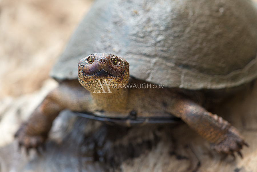 A serrated hinged terrapin smiles for the camera.