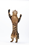 Savannah Cat, Male, 9 Months Old